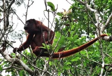 Howler Monkey at the Peru Wildlife Sanctuary