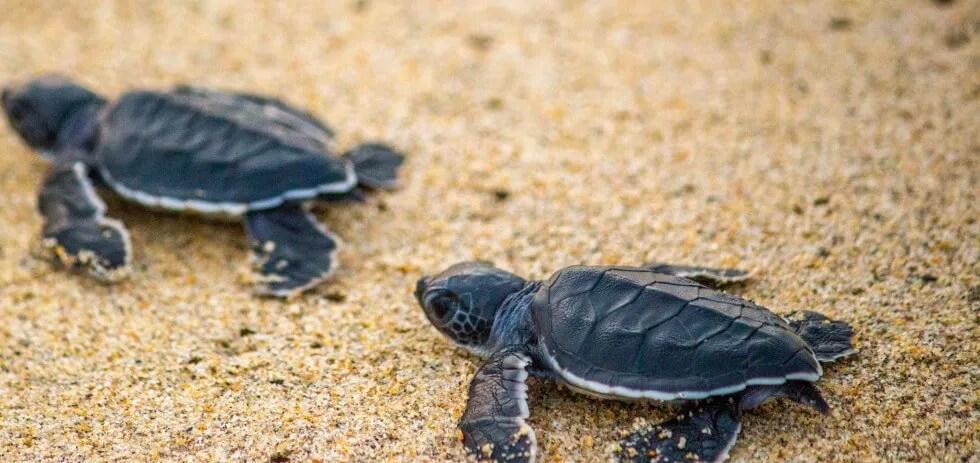Sea Turtle Hatchlings in Peru
