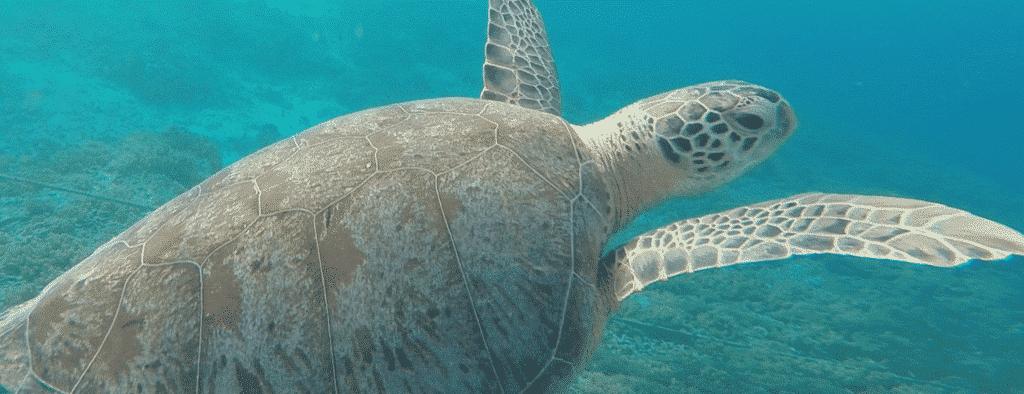 Peru Marine Sea Turtle