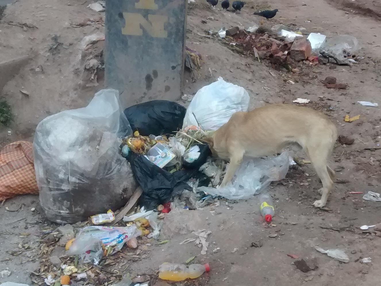 Peru street dog
