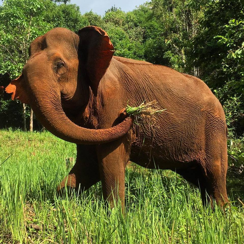 Sambo the rescued elephant