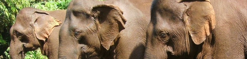 Volunteer to Help Elephants Abroad