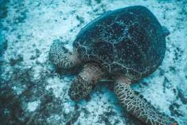 Sea turtles in malaysia