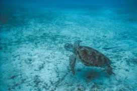 Malaysia sea turtle swimming