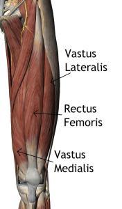 Quadriceps - vastus intermedialis is hidden underneath