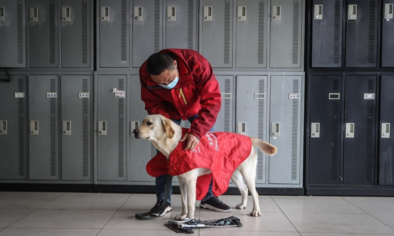 A trainer gears up a guide dog for training at Dalian branch of the China Guide Dog Training Center in Dalian, northeast China's Liaoning Province, April 22, 2021.Photo:Xinhua