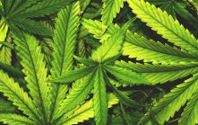Jamaica wants to export cannabis shipments of export cargo and import cargo in international trade.