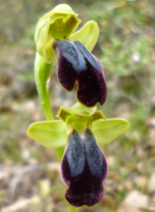 ophrys_fusca2