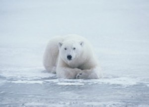 The Center for Biological Diversity predicts that two-thirds of all polar bears -  including all of Alaska's polar bears - will be extinct by 2050 if current warming trends continue. The bears also face threats from oil and gas exploration, the shipping industry, both legal and illegal hunting, recreational polar-bear watching, and toxic contaminants in their environment and in the fatty tissue of their prey