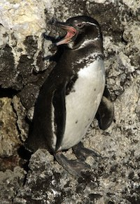 Thanks to rising sea levels, land forms that sustain wildlife may no longer be above water or otherwise suitable for some species who may be hard pressed to find places to go. Pictured: a Galapagos penguin, one of thousands of endemic island species facing likely extinction unless we can get a handle on greenhouse gas emissions in short order.