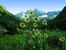 Aspen sunflowers, like the one's pictured here, used to first bloom in mid-May, but are now are doing so in mid-April, a full month earlier. University of Maryland ecologist David Inouye thinks that smaller snow packs in the mountains are melting earlier due to global warming, in turn triggering early blooms