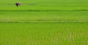 Rice farmer in paddy, Vietnam. Source: GWF Flickr Resource
