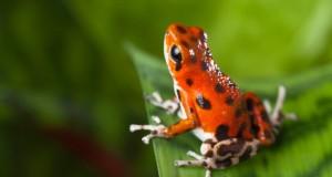 Global Escape Hatch Red Frog