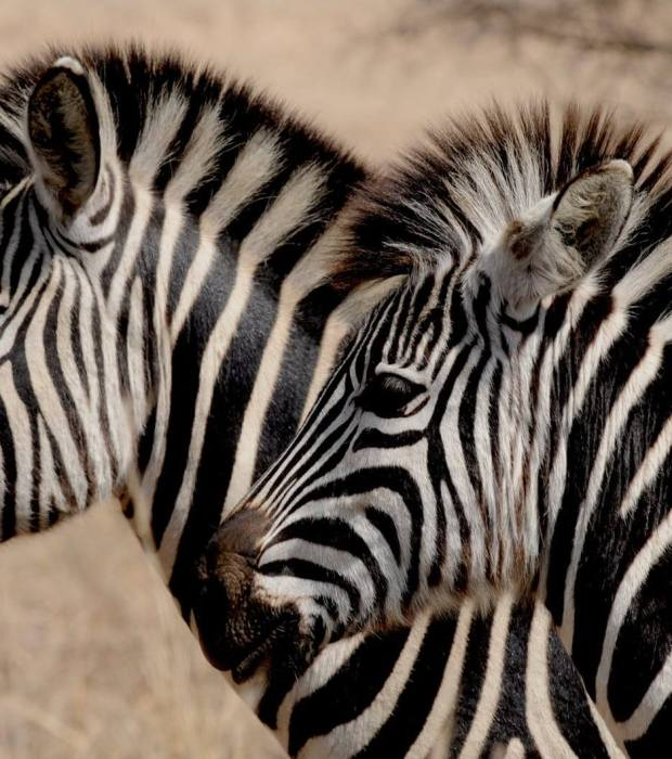 Globetrotters Travel and Tours Uganda Safaris zebra-wild-animal-africa