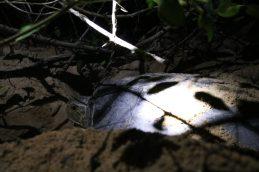 Schildpad legt eitjes op het strand Galibi
