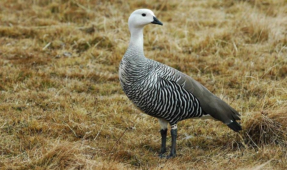 Upland Goose, Tierra del Fuego National Park near Ushuaia, Argentina