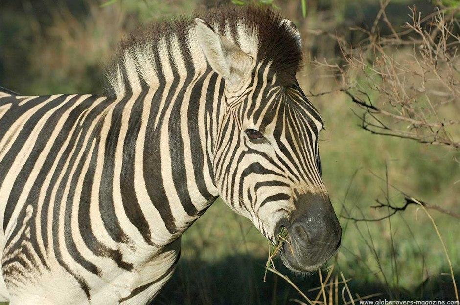Zebra, Marakele National Park, Thabazimbi, SOUTH AFRICA