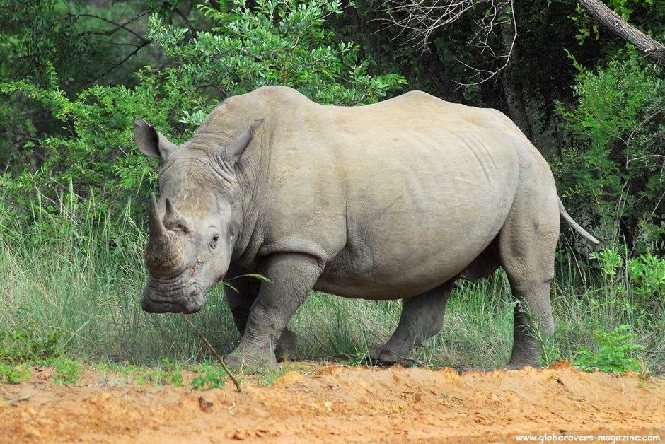 White Rhino, Marakele National Park, Thabazimbi, SOUTH AFRICA