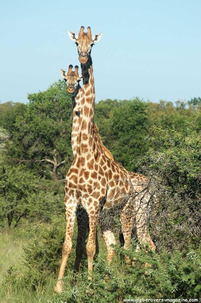 Giraffe, Leeupoort Private Reserve, SOUTH AFRICA