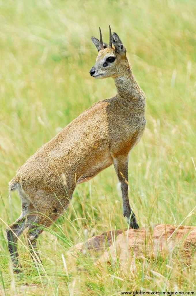Klipspringer, Marakele National Park, Thabazimbi, SOUTH AFRICA
