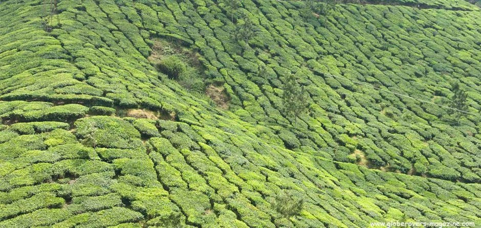 Tea plantations around Munnar, Kerala, INDIA