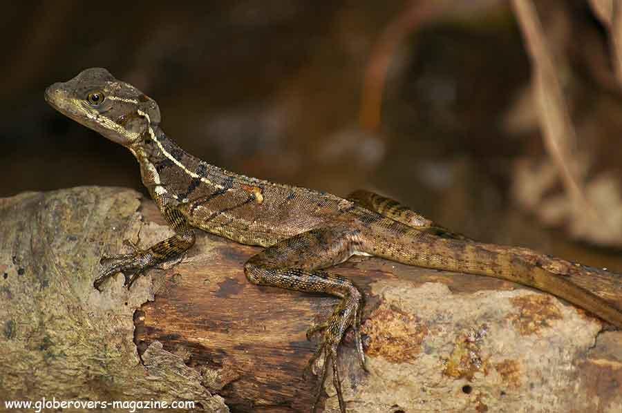 Basilisk Lizard, Corcovado, Costa Rica
