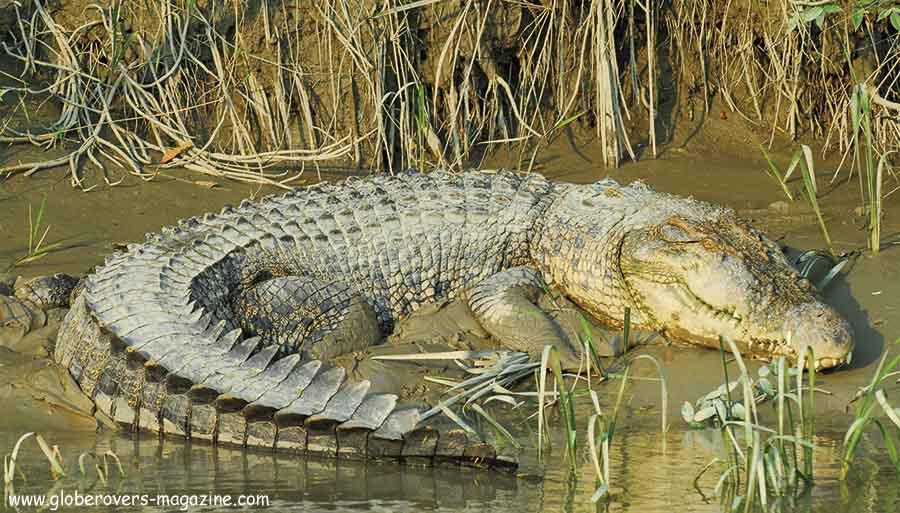 Crocodile, Sundarbans