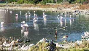 Hermanus-South Africa-Vermont-Salt-Pan-Flamingos