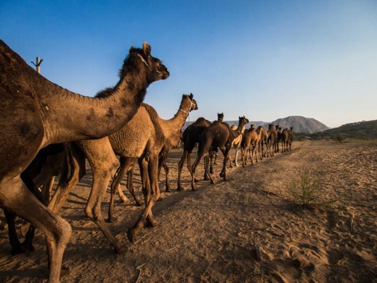 Pushkar Kamelmesse Indien-8