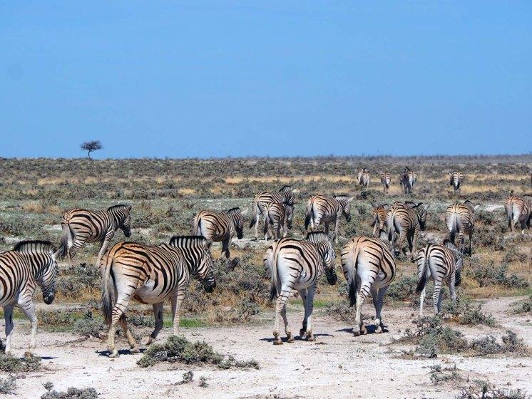 Namibia Puriy Zebras