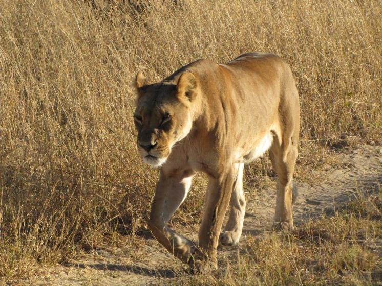 Roadtrip-Malawi-Afrika-Löwe