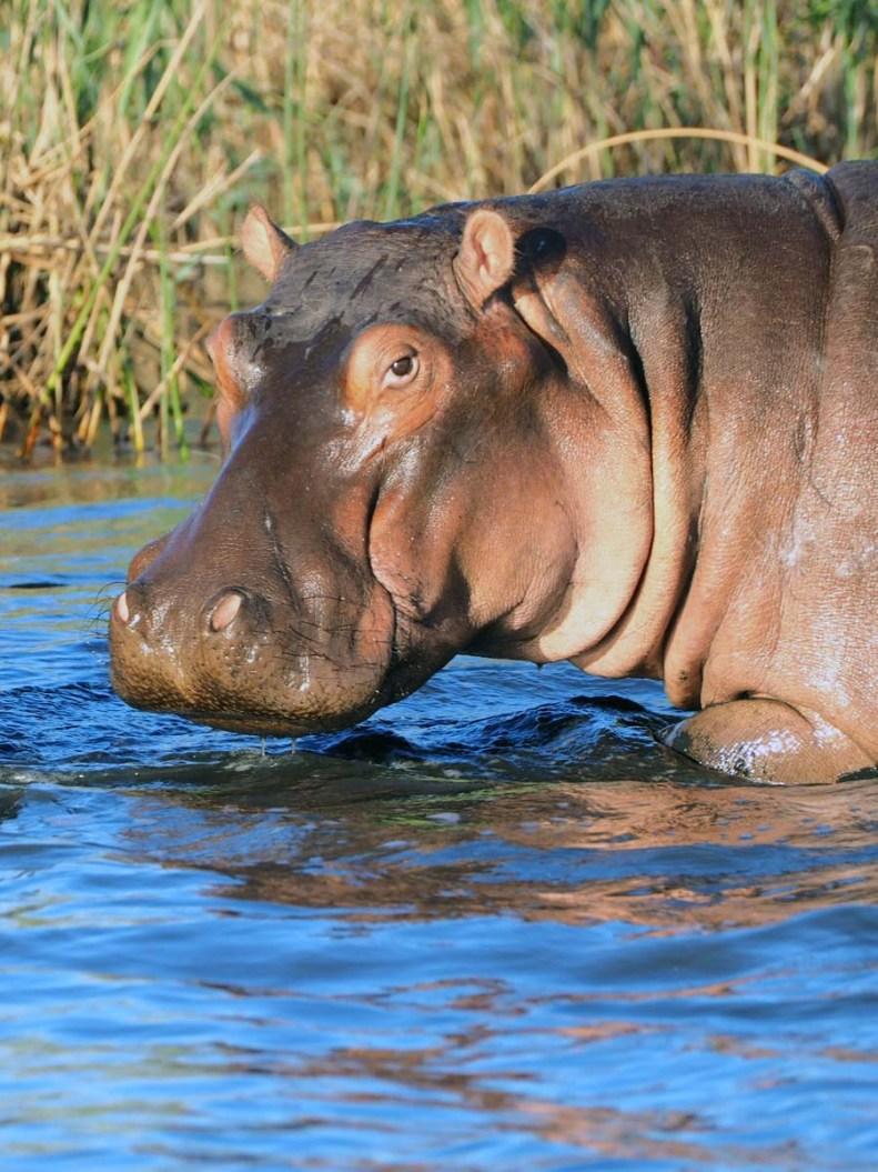 Südafrika Safari Nationalpark Flusspferd