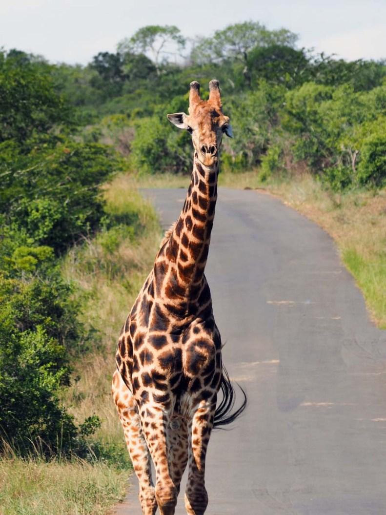 Südafrika Safari Nationalpark Giraffe