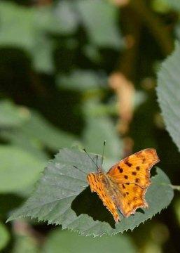 Deutsche Weinstrasse Wandern Pfalz - Schmetterling auf Blatt