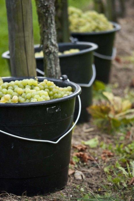 """""""Herbsten"""" nennen die Hallauer die Traubenernte"""
