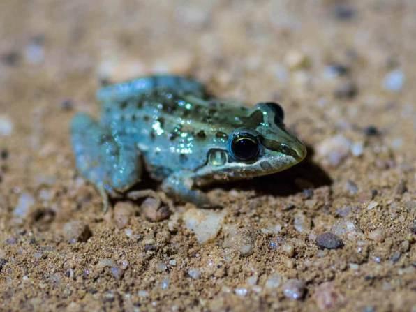 Frosch im Pantanal