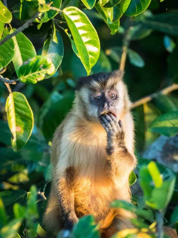Affe im Pantanal