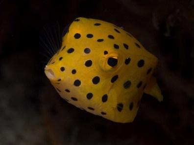 Ein gelbbrauner Kofferfisch