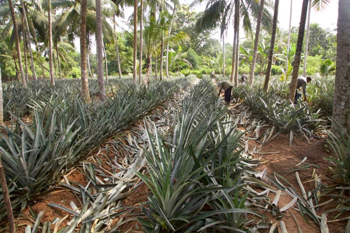 Eine Ananasplantage