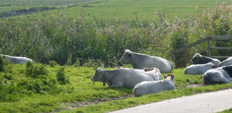 Gasconne runderen, toekomstige projecten…