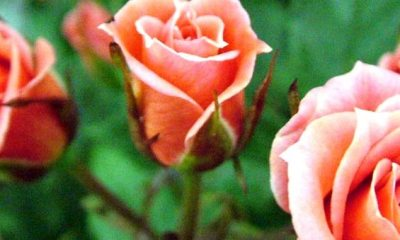 fest rose