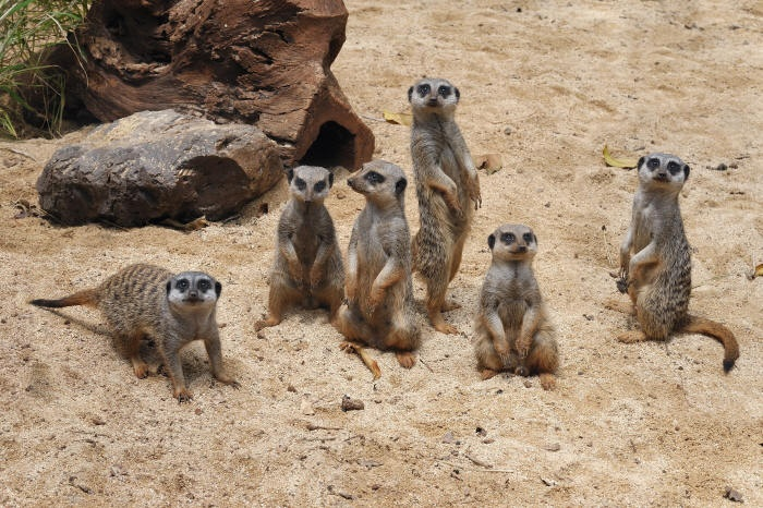 Meerkat family, Honolulu Zoo