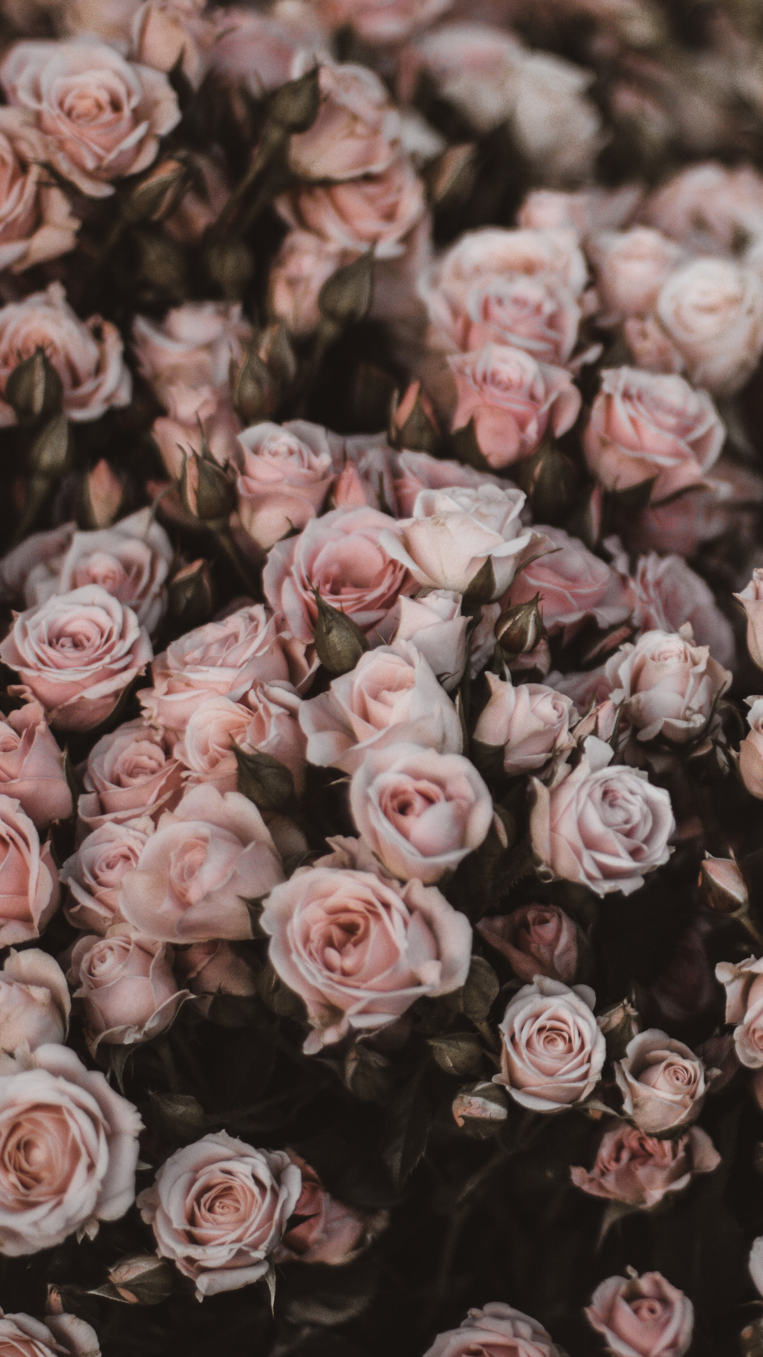 Roses Wallpaper Backgrounds For iPhone