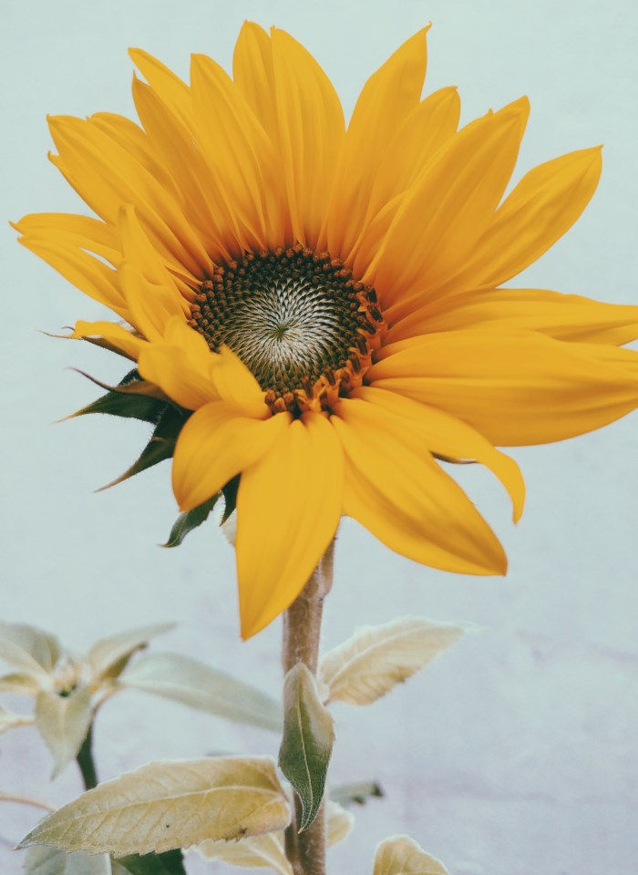 Yellow Aesthetic Sunflower Wallpaper Backgrounds For iPhone