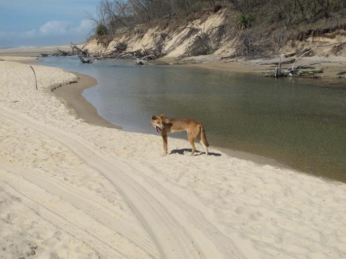 Dingo, Fraser Island