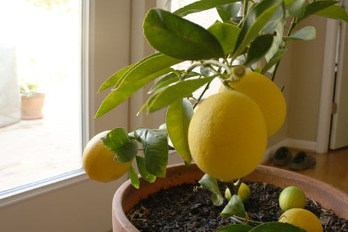 a lemon tree can grow by a sunny window