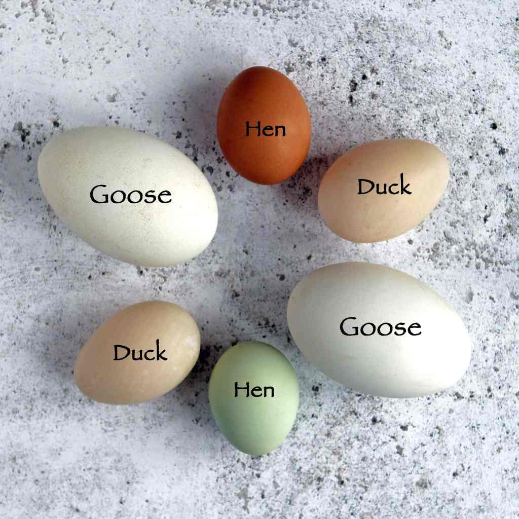 egg-size-comparison-goose-duck-large-hen