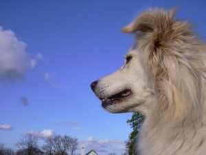 Cassie, Retriever & Samoyed cross
