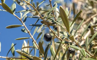 Olive You – Europas feinste Tafeloliven