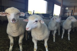 GM1 affected lambs